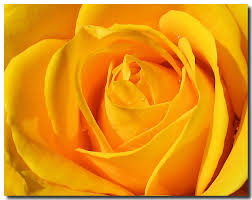 Yellow Rose, the Official Flower of Zonta